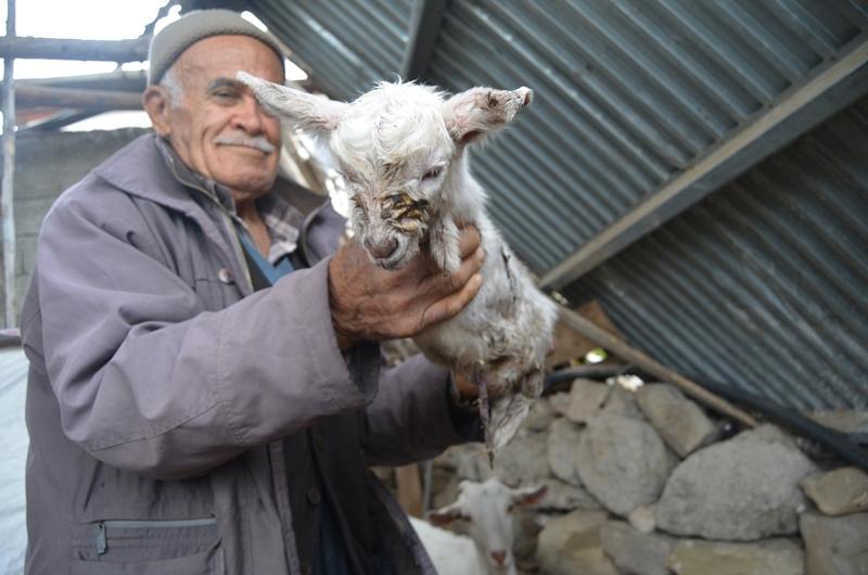 Kozan'da ayaksız oğlak dünyaya geldi