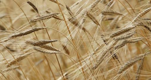 Buğdayda üretim hedefi tutmadı, 500 bin ton ithalat