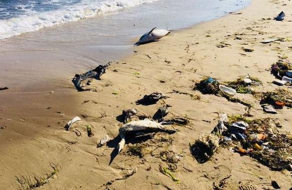 Sinop'ta kıyıya yunus ve kuşlar vurdu