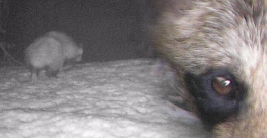 Türkiye'de ilk kez görülen rakun köpeği