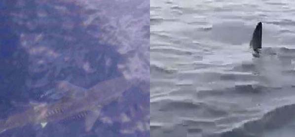 Marmaris'de köpek balığı paniği