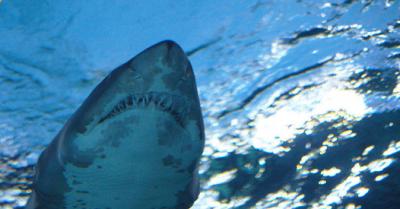 Grönland'da 512 yaşında köpekbalığı bulundu